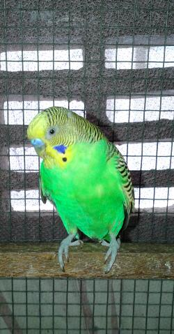 Details about my budgie?-20130421_115120-1.jpg