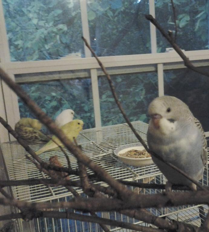 A feathered baby budgie, is he pied?-20131102_184938.jpg