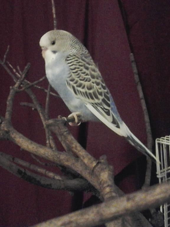 A feathered baby budgie, is he pied?-20131102_185253_1.jpg