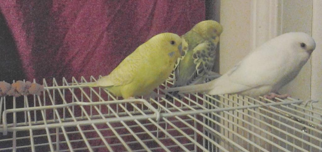 A feathered baby budgie, is he pied?-20131102_185323_1.jpg