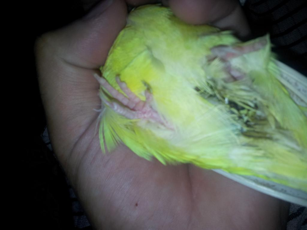 Budgie in critical condition, can't find an emergency vet!-20131225_110229.jpg