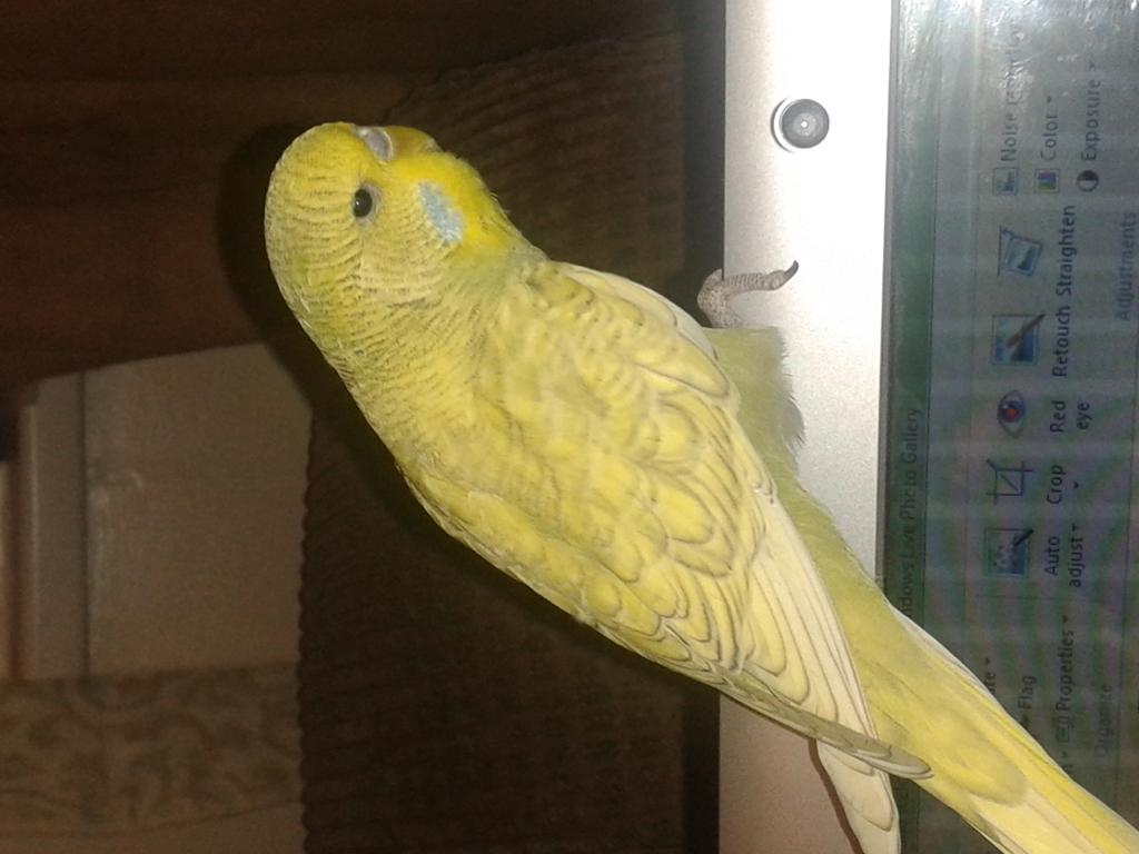 what type of budgie-20140104_180551.jpg