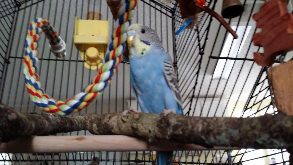 very worried about my budgie Oz-2015-07-11-10.58.22.jpg
