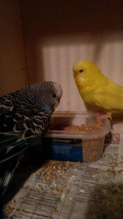 Less-abled budgies need new home-20150110_191123_1420917813798.jpg