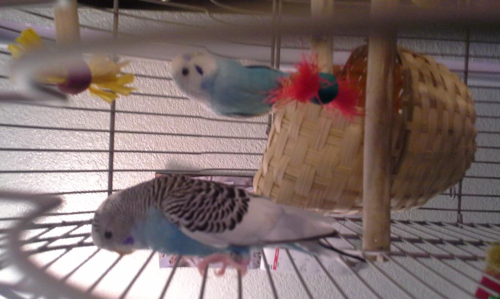 New Budgie Owner 1st Time & Need Help-20150127_170227%5B1%5D.jpg
