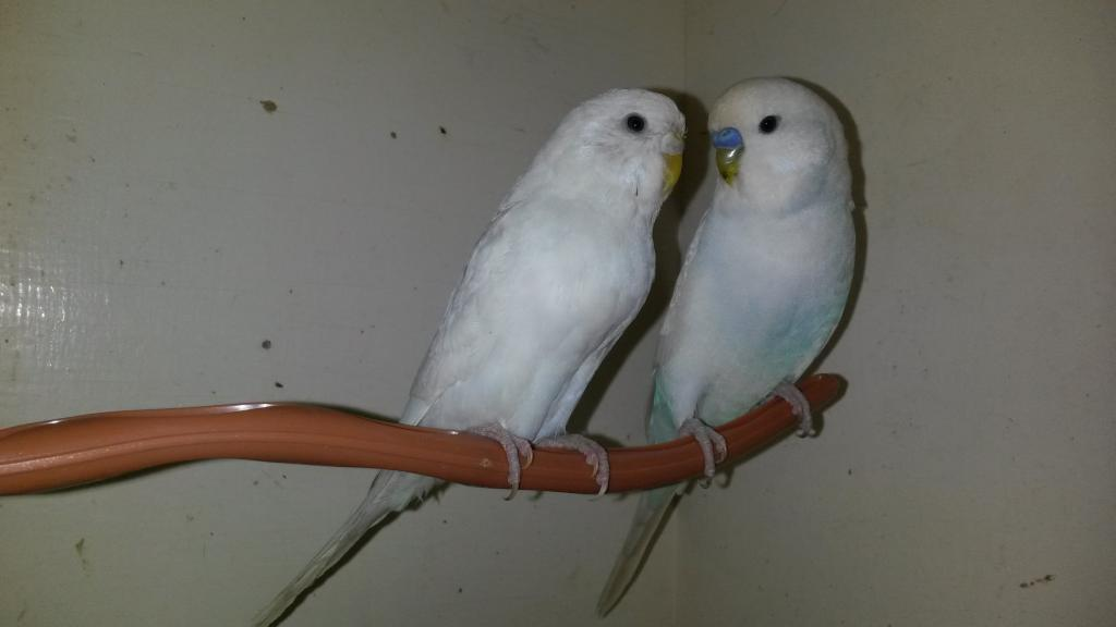 Yet more budgies! (i have gone mad)-20150223_215250.jpg