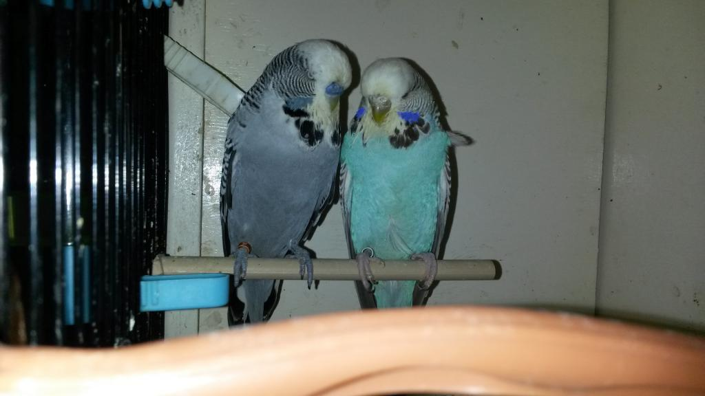 Yet more budgies! (i have gone mad)-20150223_215405.jpg