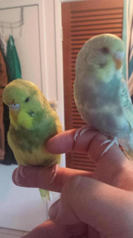here is my two gorgeous budgies:)-20150301_062653_1425221799349.jpg