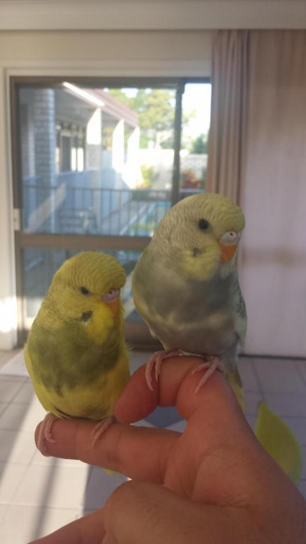 here is my two gorgeous budgies:)-20150301_062808_1425221649515.jpg