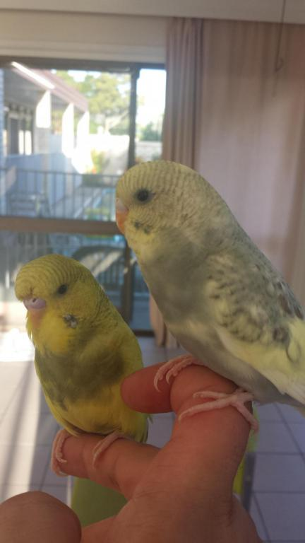 here is my two gorgeous budgies:)-20150301_062827_1425221703125.jpg