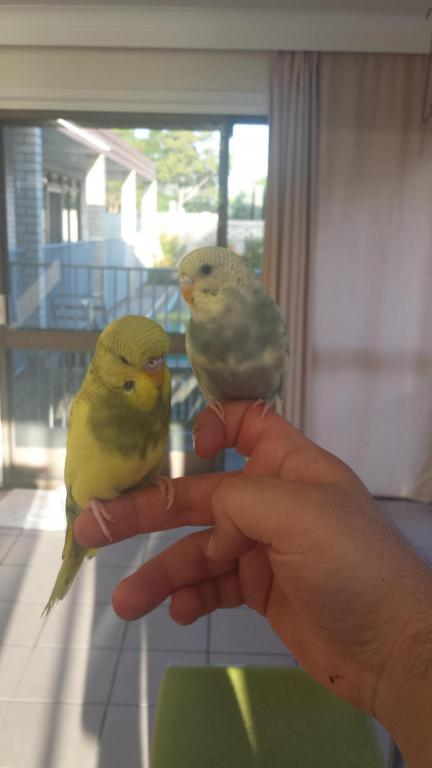 here is my two gorgeous budgies:)-20150301_062837_1425221742656.jpg