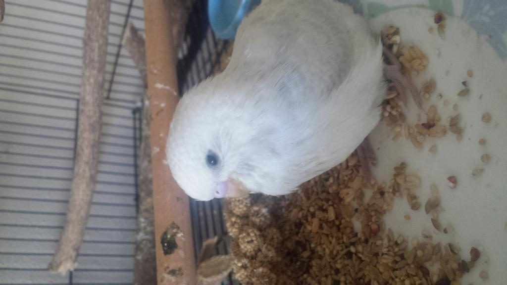 my new budgie bedish :)-20150523_113932.jpg