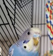 very worried about my budgie Oz-20150629_110617-copy.jpg