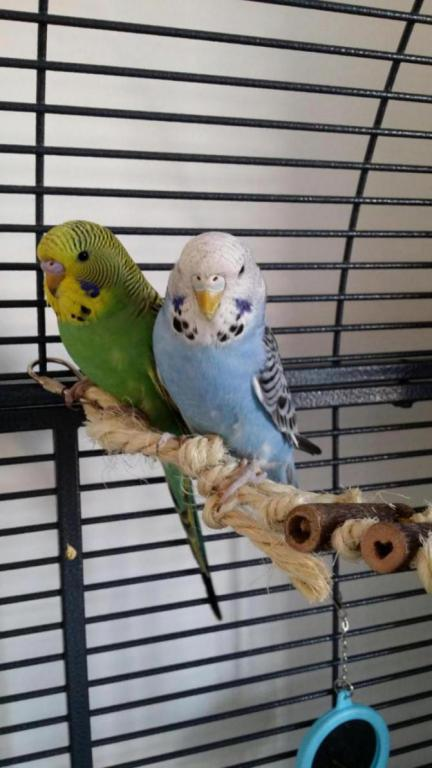 New to budgies and feel out of my depth-20150703_180830_1435945114782.jpg