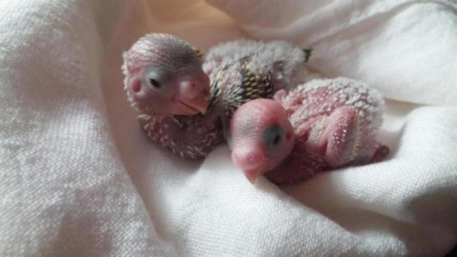 The newest members of my feathered family-20151010_200216_1445560850772.jpg