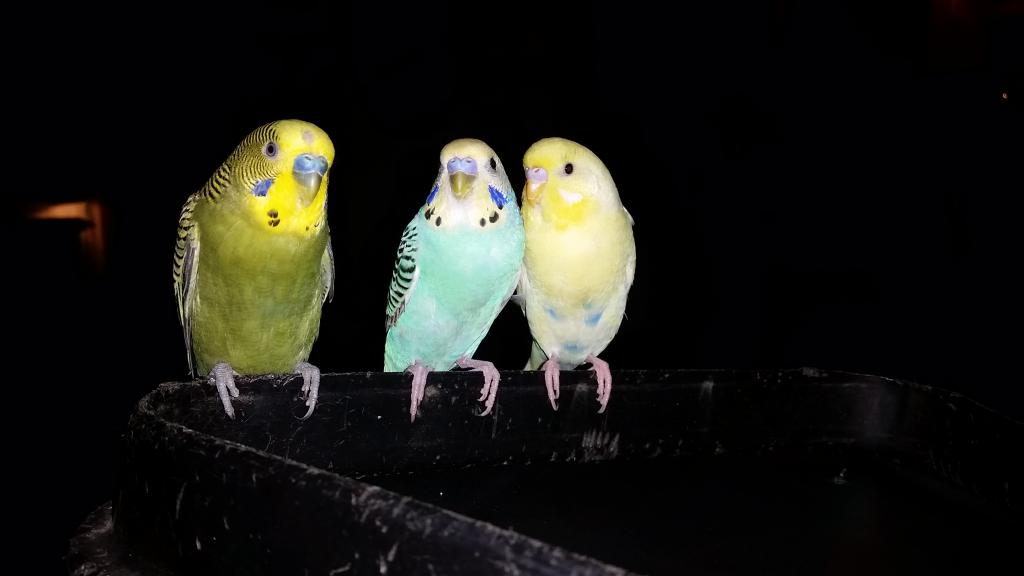 Assistance in sexing parakeets-20151013_194208.jpg