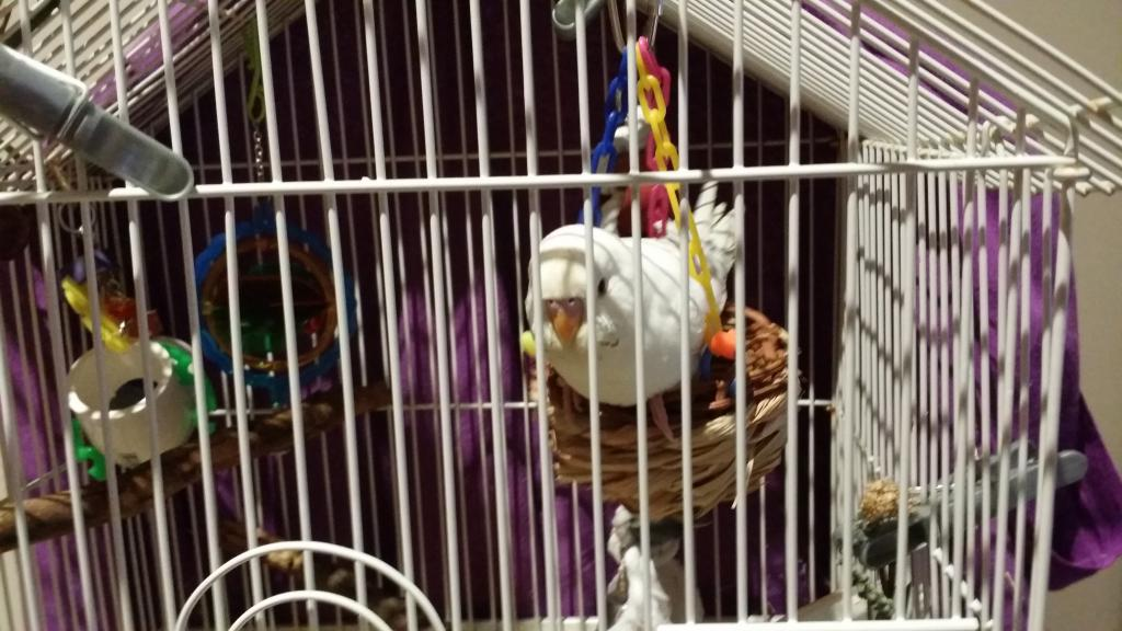 Budgie Taming - Always wants out of cage-2016-09-10-20.24.53.jpg
