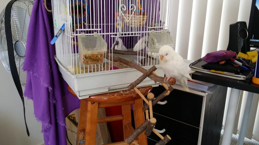 Budgie Taming - Always wants out of cage-2016-09-11-09.47.03.jpg