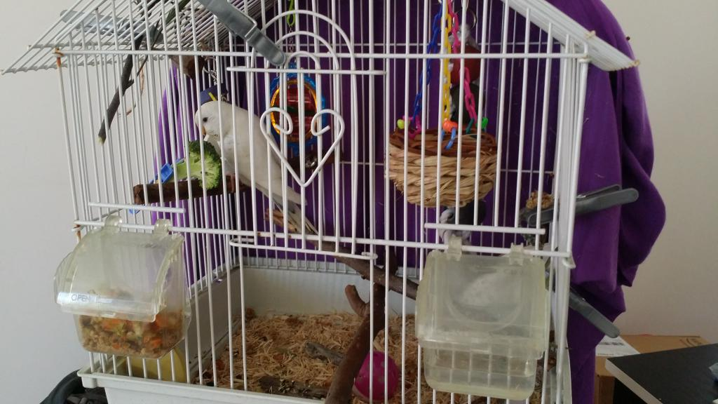 Budgie Taming - Always wants out of cage-2016-09-11-11.32.19.jpg