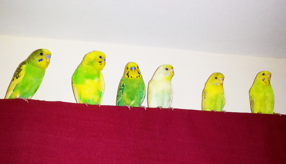 Budgies taken over our home (On-going Thread)-20160326_163703.jpg