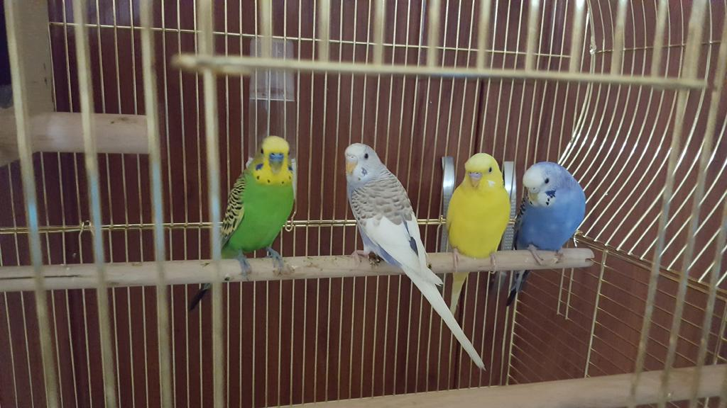To know the gender of my new budgies buddies-20160429_144510.jpg
