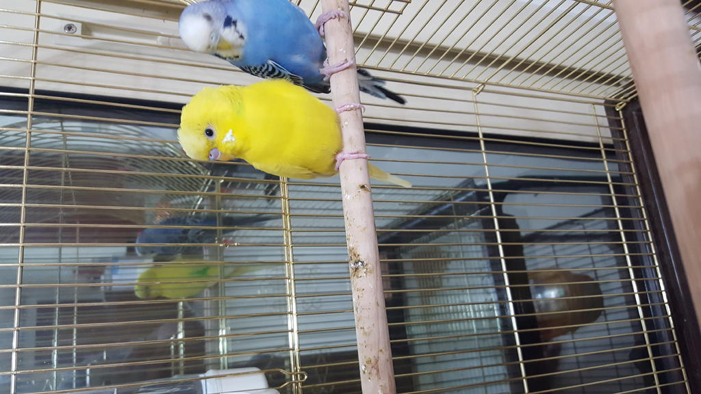 To know the gender of my new budgies buddies-20160429_185351.jpg