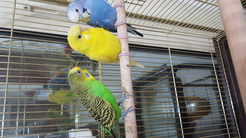 To know the gender of my new budgies buddies-20160429_185402.jpg