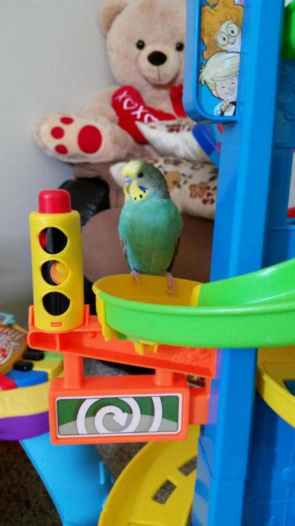 Show off Your Beautiful budgies!-20160706_153118_1481152652081.jpg
