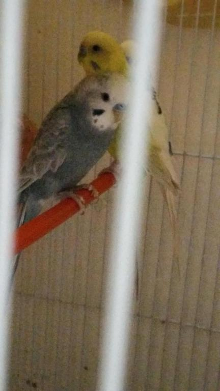 What combination gives grey budgie?-20161004_095912_1475563264933.jpg