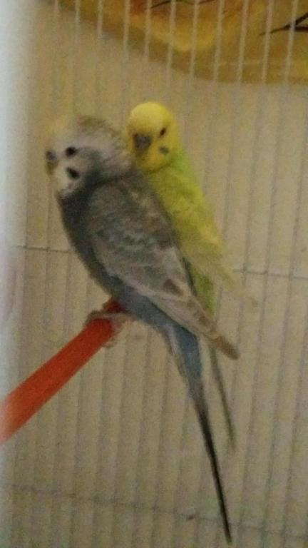 What combination gives grey budgie?-20161004_095926_1475563204754.jpg