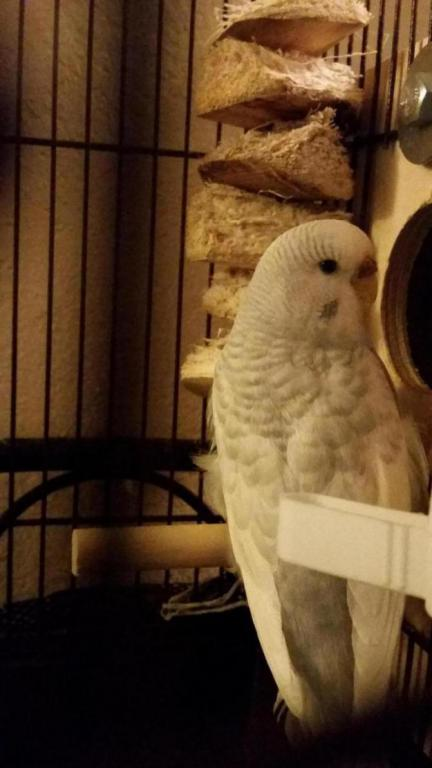 Show off Your Beautiful budgies!-20161202_174453_1481152524853.jpg