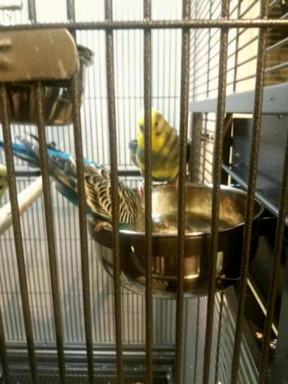 My budgie was diagnosed with megabacteria or AGY-20161217_184226_1482011669825.jpg
