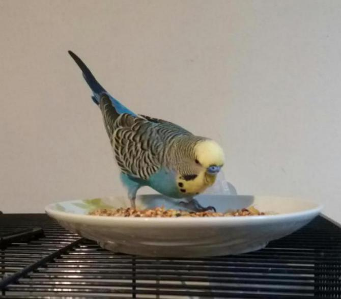 My budgie was diagnosed with megabacteria or AGY-20161222_184629_1482425361333.jpg