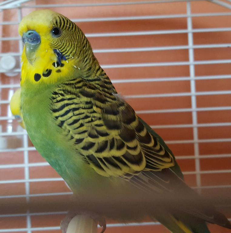 Unsure if one of my budgies is definitely male-20170109_123201.jpg