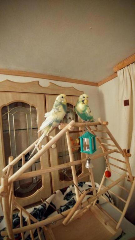 My Budgies Pip & Loki :) (Ongoing Thread)-20170110_181607_1491859740853.jpg
