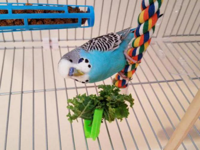 New English Budgie not eating but acting normal?-20170113_131537_1486672116723.jpg