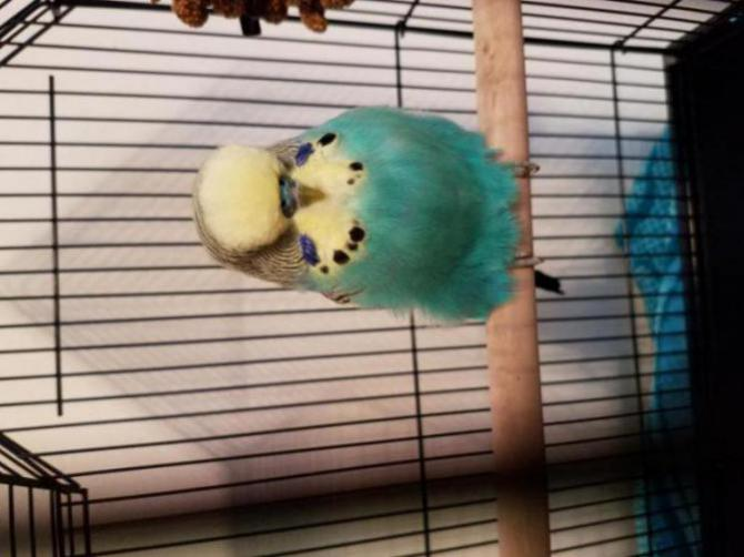 New English Budgie not eating but acting normal?-20170207_113154_1486672086927.jpg