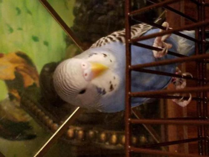Two budgies, confused on their gender please help.-20170305_214527_1488773435457.jpg