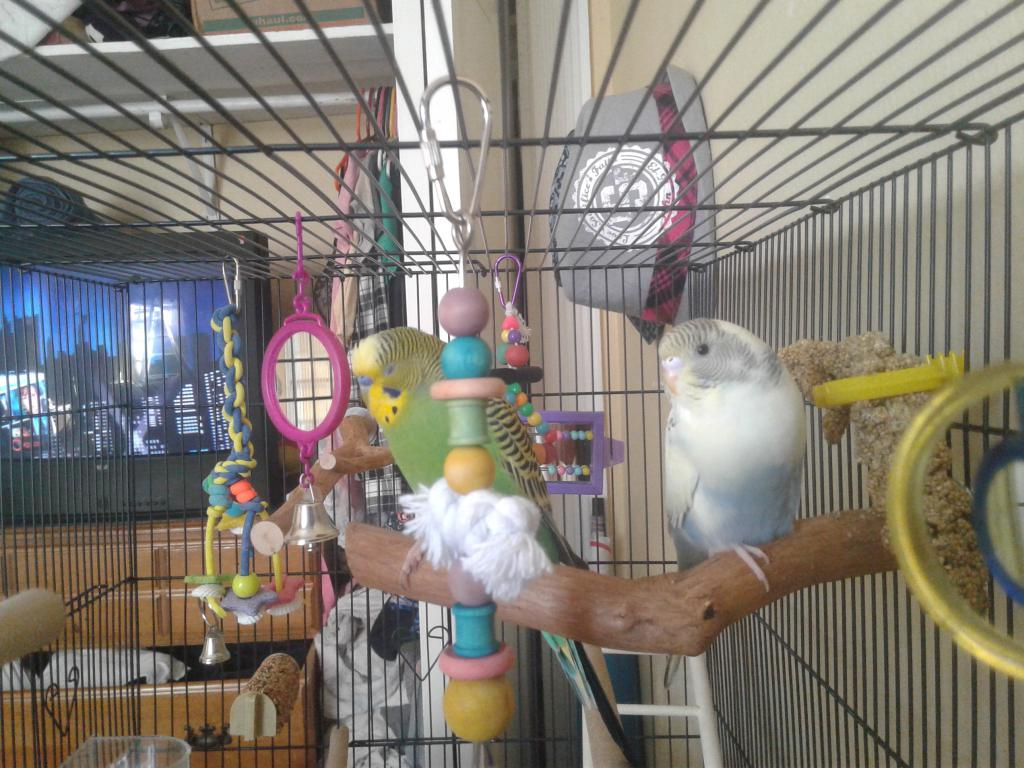 Is my cage good enough for my budgies?-20170513_174506.jpg