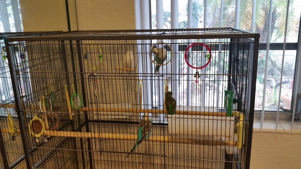 Budgies wont sit on certain perch rings-20170601_132643.jpg