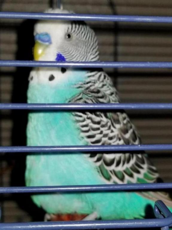 Unknown growth on lower breast of parakeet! Please help!-20171115_144401_1510788197328.jpg