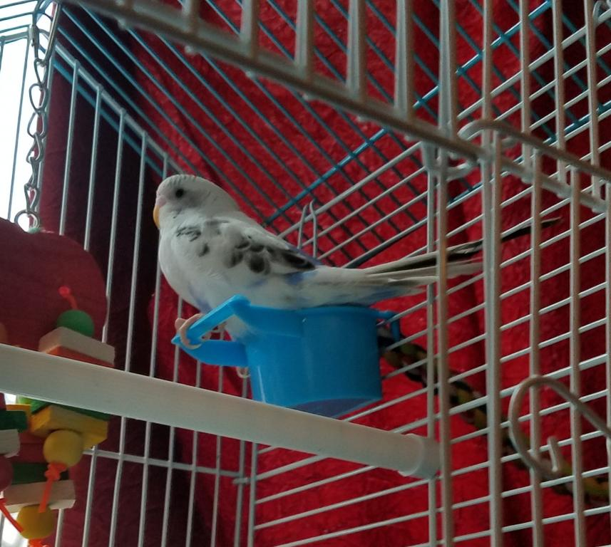 New budgie gender & advice please-20171216_102442.jpg