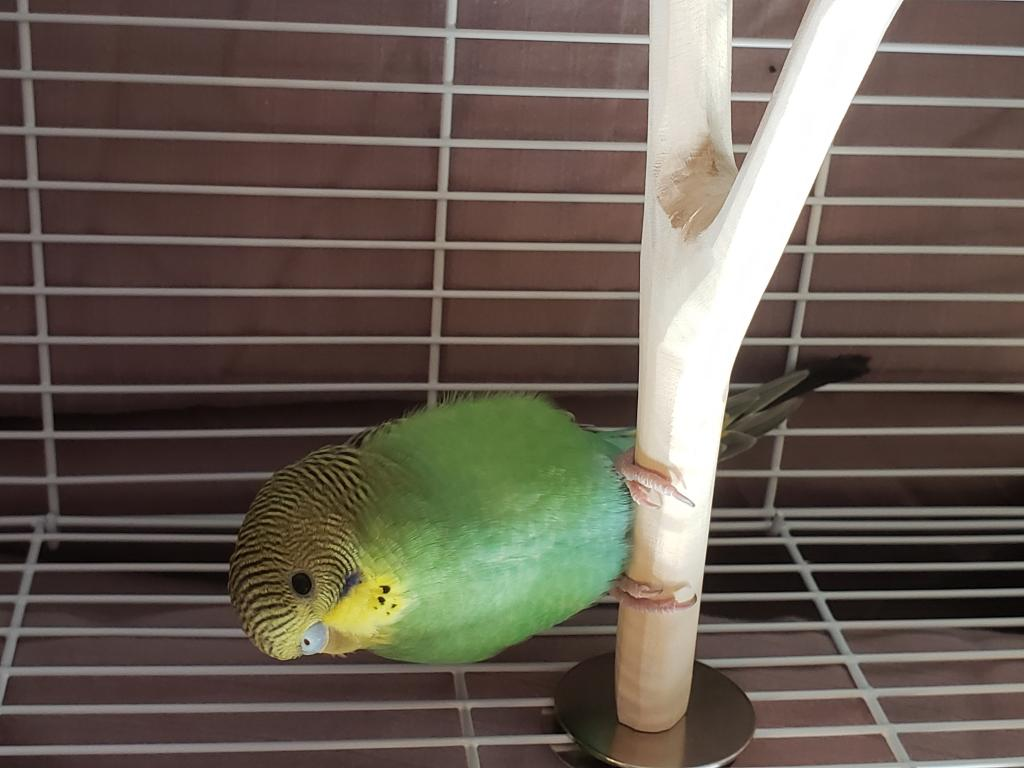 Update - Second budgie & some questions-20180418_181431.jpg