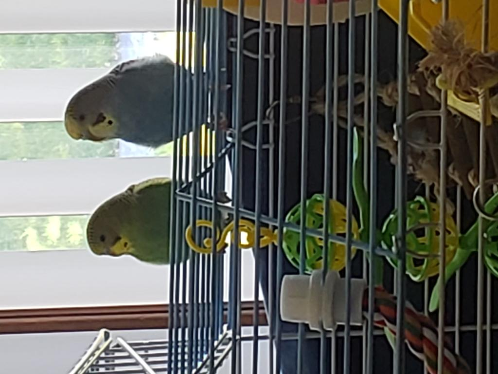 Update - Second budgie & some questions-20180604_133224.jpg