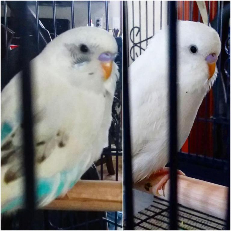 Sex and type of budgies please?-20180706_224417_1530932127844.jpg