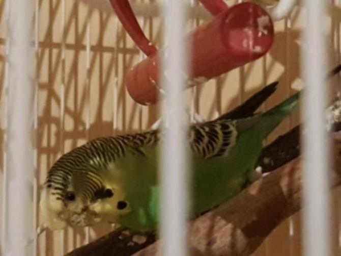 Problem with budgies face-20180728_224623_1532817046233.jpg
