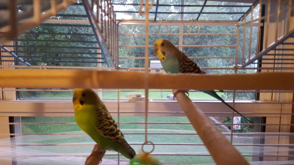 Can someone help with Age and Gender of my Budgies?-20180913_193042.jpg