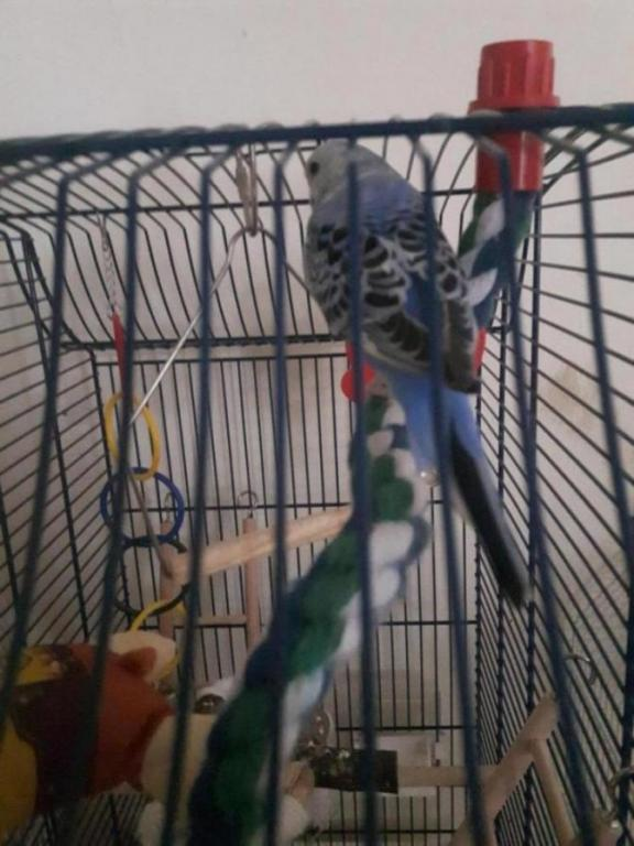 Colors of my budgies-20190315_112211_1554229013258.jpg