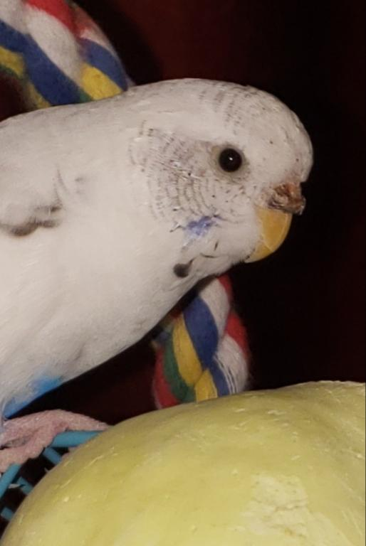 Is my budgie's cere normal-20190328_212355.jpg