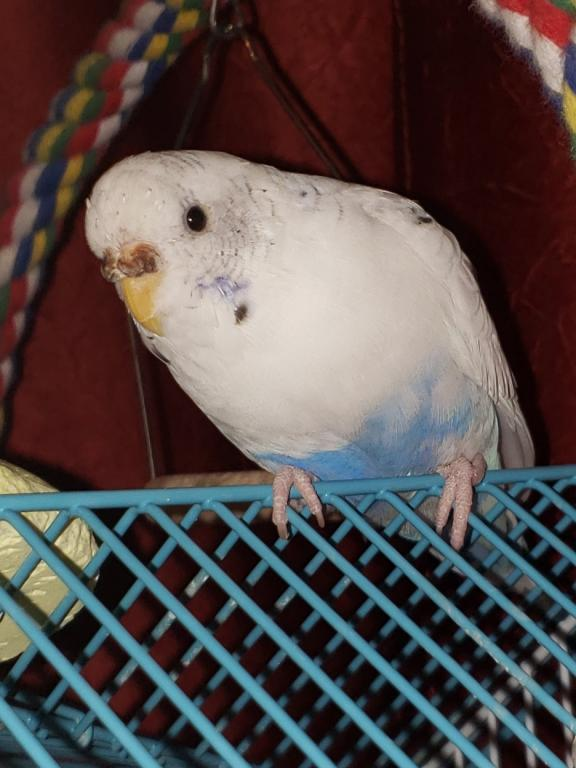 Is my budgie's cere normal-20190328_212435.jpg